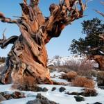 De cómo el árbol más viejo del mundo fue talado por error