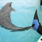 Delfín japonés recupera la alegría tras recibir una cola protésica