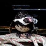 El caso del pingüino polizón