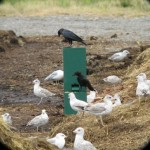 Cría cuervos… y te traerán el dinero a casa