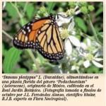 Observadas mariposas monarca en el Real Jardín Botánico de Madrid