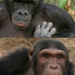 ¿Qué clase de hombre eres, chimpancé o bonobo?
