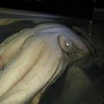 AbyssBox, o cómo mantener vivo a un pez abisal