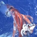 Investigadores japoneses capturan calamar gigante