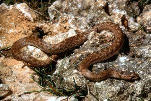 ¿Hay serpientes venenosas en la península ibérica?
