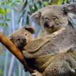 Las Koalas cautivas se entretienen en orgías sexuales lésbicas