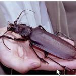 ¿Cual es el insecto más grande del mundo?