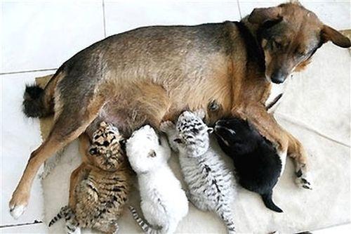 perro y tigres