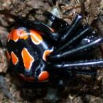 ¿De verdad vive en España la araña viuda negra?