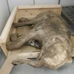 ¿Podría devolverse a la vida al extinto mamut?