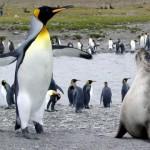 Foca peletera intenta violar a un pingüino rey