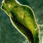 Con ustedes el animal planta: Elysia chlorotica