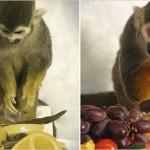Sam y Dalton, los primeros monos ardilla macho que ven en color total