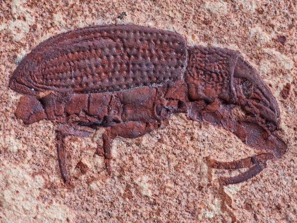 fosil-de-gorgojo-de-45-millones-de-anos-descubierto-en-colorado