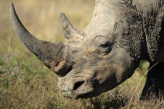 cuernos-de-rinoceronte-sinteticos