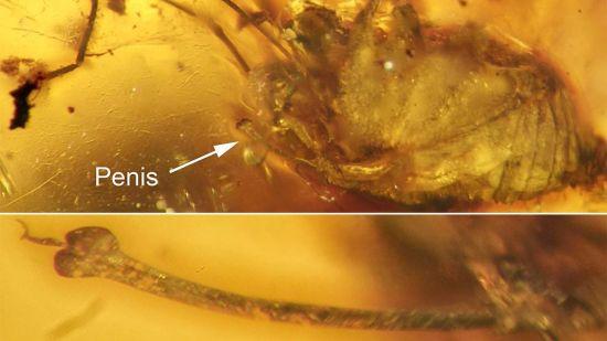 pene-de-aracnido-de-99-millones-de-anos