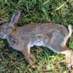 De cómo un conejo muerto podría alterar los juicios por asesinato en Estados Unidos