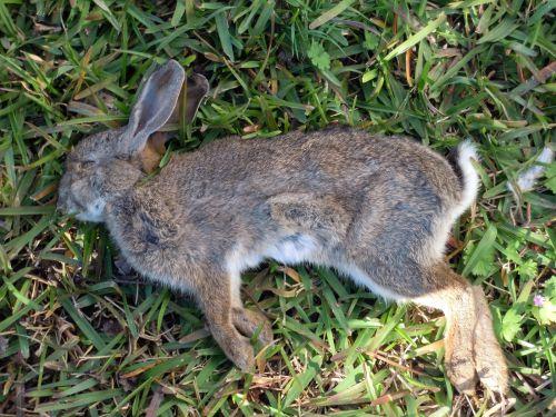 conejo-muerto