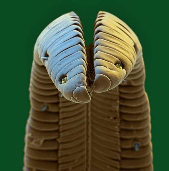 lengua-de-colibri