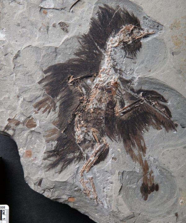 plumas-y-colores-preservados-durante-130-millones-de-anos