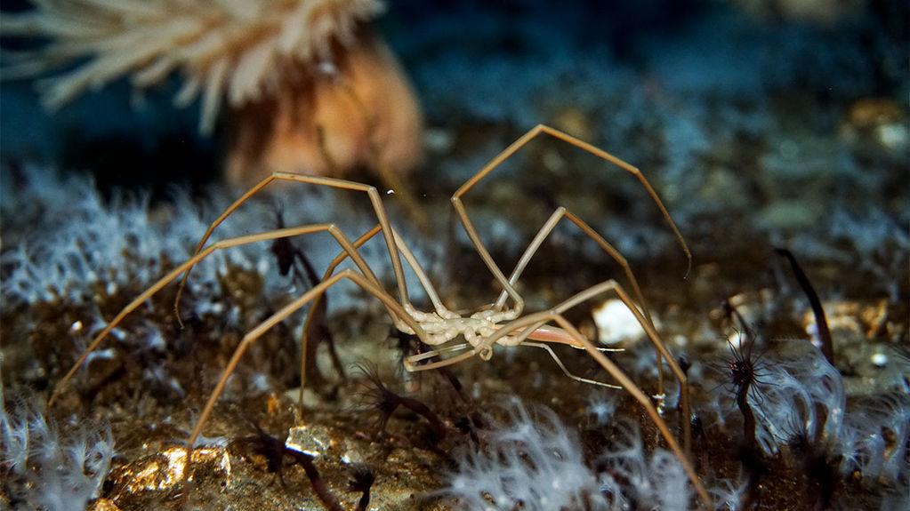 Araña de mar Foto de Timothy R. Dwyer (PolarTREC 2016) cortesía de ARCUS